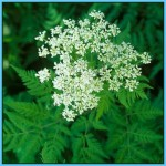 What is Sweet Cicely and How Do You Use It?_13.jpg