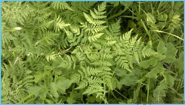 What is Sweet Cicely and How Do You Use It?_16.jpg