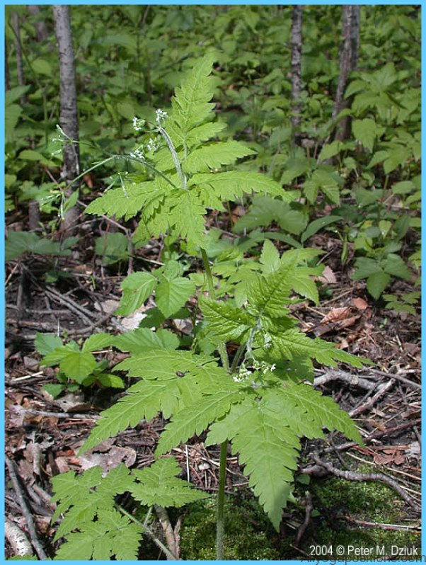 What is Sweet Cicely and How Do You Use It?_3.jpg