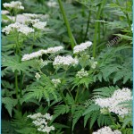 What is Sweet Cicely and How Do You Use It?_4.jpg
