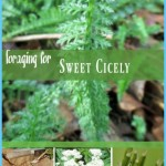What is Sweet Cicely and How Do You Use It?_6.jpg