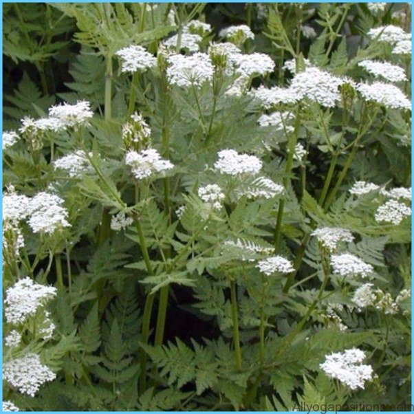 What is Sweet Cicely and How Do You Use It?_7.jpg
