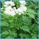 What is Sweet Cicely and How Do You Use It?_9.jpg