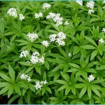 What is Sweet Woodruff and How Do You Use It?_0.jpg