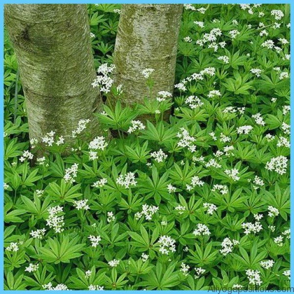 What is Sweet Woodruff and How Do You Use It?_1.jpg