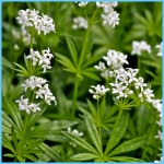 What is Sweet Woodruff and How Do You Use It?_10.jpg