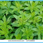 What is Sweet Woodruff and How Do You Use It?_13.jpg