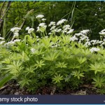 What is Sweet Woodruff and How Do You Use It?_14.jpg
