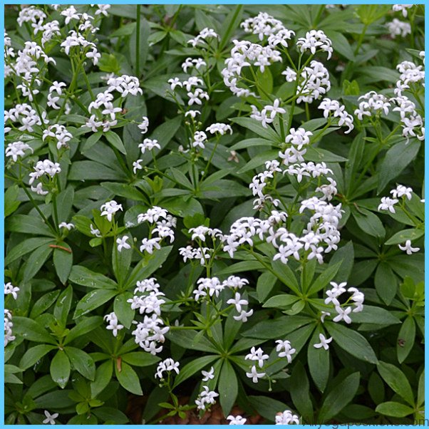 What is Sweet Woodruff and How Do You Use It?_17.jpg