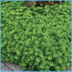 What is Sweet Woodruff and How Do You Use It?_4.jpg