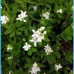 What is Sweet Woodruff and How Do You Use It?_5.jpg