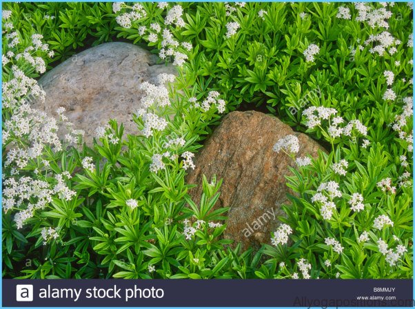 What is Sweet Woodruff and How Do You Use It?_7.jpg