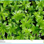 What is Sweet Woodruff and How Do You Use It?_9.jpg