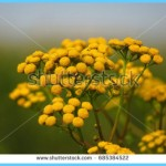 What is Tansy and How Do You Use It?_0.jpg