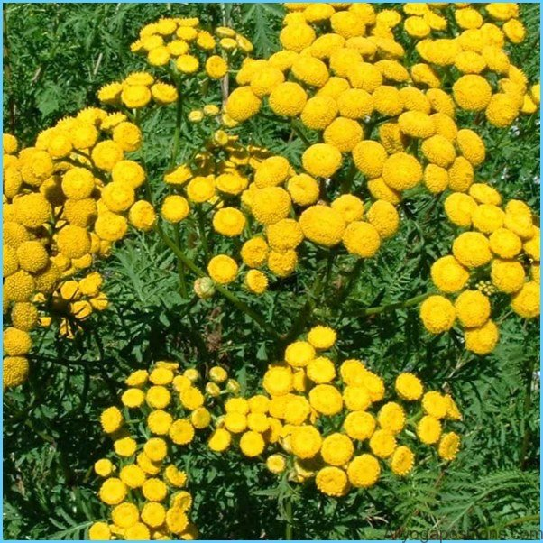 What is Tansy and How Do You Use It?_12.jpg