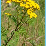 What is Tansy and How Do You Use It?_13.jpg