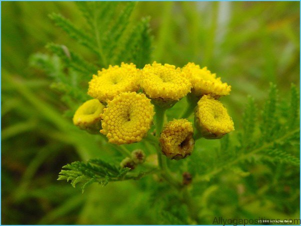 What is Tansy and How Do You Use It?_16.jpg