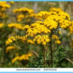 What is Tansy and How Do You Use It?_4.jpg