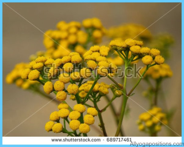 What is Tansy and How Do You Use It?_5.jpg
