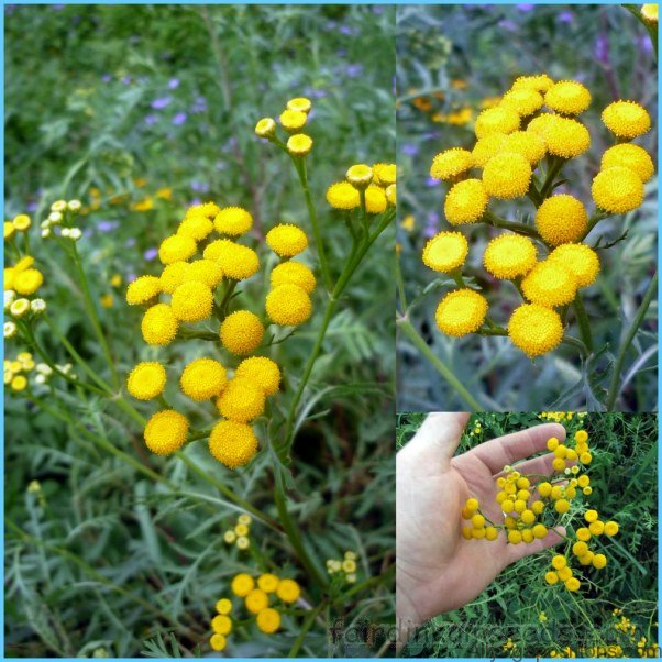 What is Tansy and How Do You Use It?_7.jpg