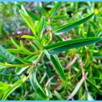 What is Tarragon and How Do You Use It?_1.jpg