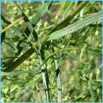 What is Tarragon and How Do You Use It?_13.jpg