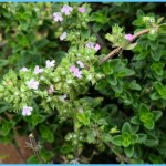 What is Thyme and How Do You Use It?_12.jpg
