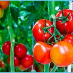 What is Tomato and How Do You Use It?_10.jpg