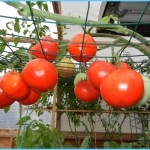What is Tomato and How Do You Use It?_12.jpg