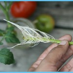 What is Tomato and How Do You Use It?_18.jpg