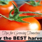 What is Tomato and How Do You Use It?_6.jpg