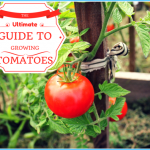 What is Tomato and How Do You Use It?_9.jpg