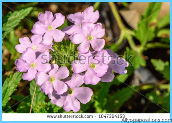 What is Verbena and How Do You Use It?_0.jpg