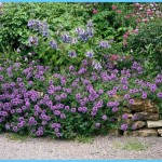 What is Verbena and How Do You Use It?_1.jpg