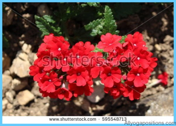 What is Verbena and How Do You Use It?_11.jpg
