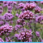 What is Verbena and How Do You Use It?_12.jpg