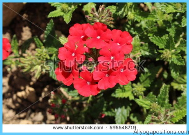 What is Verbena and How Do You Use It?_13.jpg
