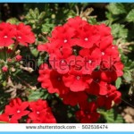 What is Verbena and How Do You Use It?_14.jpg