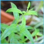 What is Verbena and How Do You Use It?_15.jpg