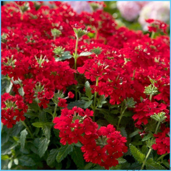 What is Verbena and How Do You Use It?_17.jpg