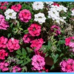 What is Verbena and How Do You Use It?_18.jpg