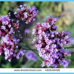What is Verbena and How Do You Use It?_2.jpg