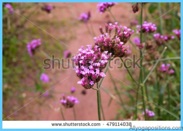 What is Verbena and How Do You Use It?_3.jpg