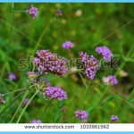 What is Verbena and How Do You Use It?_4.jpg