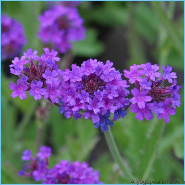 What is Verbena and How Do You Use It?_5.jpg