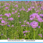 What is Verbena and How Do You Use It?_6.jpg