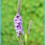 What is Verbena and How Do You Use It?_7.jpg