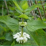 What is White Deadnettle and How Do You Use It?_0.jpg