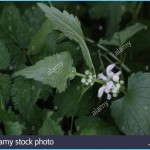 What is White Deadnettle and How Do You Use It?_10.jpg