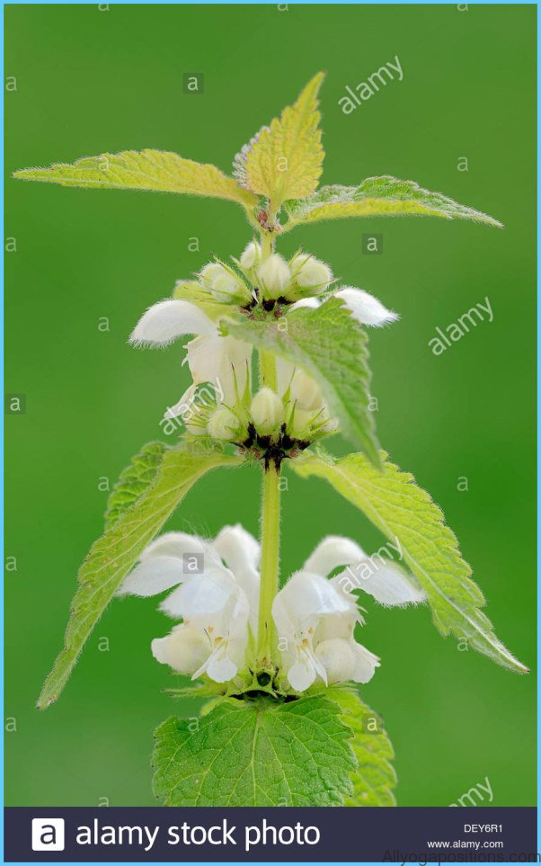 What is White Deadnettle and How Do You Use It?_11.jpg